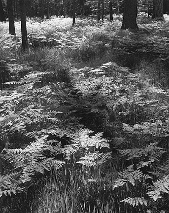 Ferns, Valley Floor, Yosemite National Park, California