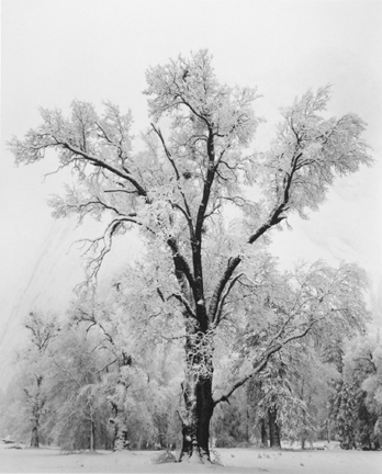 Oaktree, Snowstorm, Yosemite National Park, California