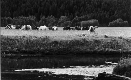 Blood Indian Horses on the Belly River, Alberta, Canada