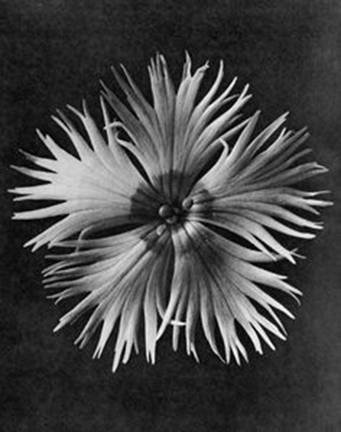 Dianthus Plumarius, from the