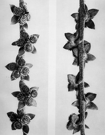 Cynoglossum Officinale, from the