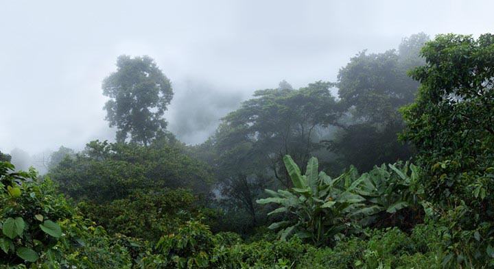 Botanical Observation, Forest-Shaded Coffee Plantation, from the