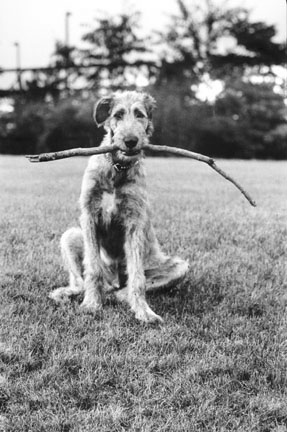 Irish Wolfhound with Stick