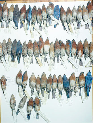 Field Museum, Drawer of Bluebirds, various dates