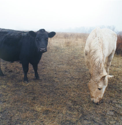Grazing at Plenemuk burial mound, Joliet Arsenal, January 1, 1997