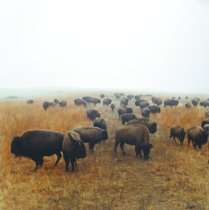 Bison at Maxwell Game Preserve, Roxbury, Kansas, December 1981