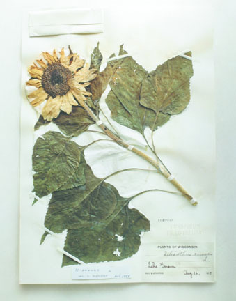 Field Museum, Helianthus annuies L., 1875