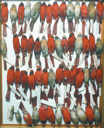 Field Museum, Drawer of Cardinals, various dates