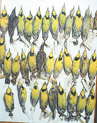 Field Museum, Drawer of Meadowlarks, various dates