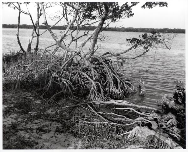 Untitled (tree on edge of water with exposed roots)