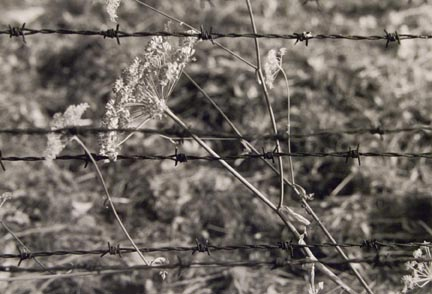 Cut Weed and Barbed Wire, Birkenau