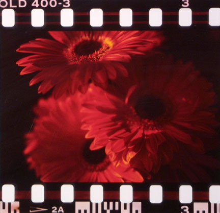 Flowers (Red Daisies)