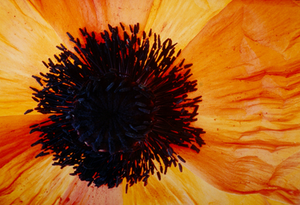 Poppies, Red & Yellow #19, from the