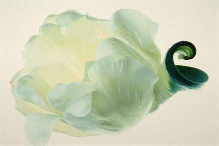 Tulip: White with Green #11, from the