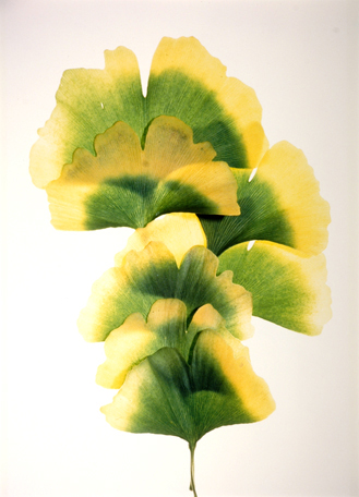 Gingko #14, from the