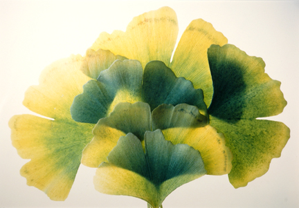 Gingko #33, from the