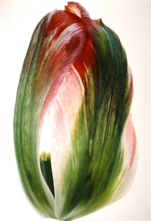 Tulip, Pink & Green #39, from the