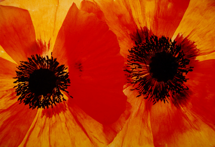 Poppies #37, from the