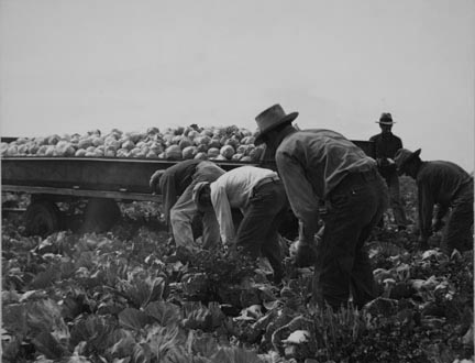 Cabbage cutting and hauling by new Vessey (flat truck) system, now also used in carrots and lettuce. Imperial Valley, California.
