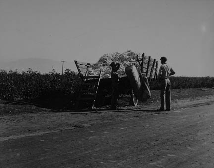 Weighing in cotton. Southern San Joaquin Valley, California
