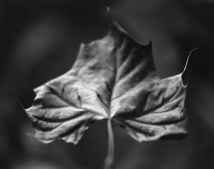 Sycamore Leaf, from the Ozark portfolio