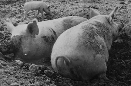 Pig asleep, Prince George's County, Maryland