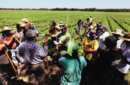 Farm Workers Gather Around as Paychecks are Distributed During a Break from Weeding a Basil Field in Momence, Illinois, July 2010