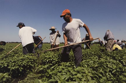 Farm Workers, Including a Father and Son, Weed the Fields in Momence, Illinois, July 2010