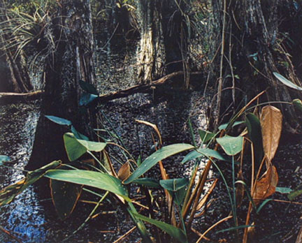 Cypress Swamp, Florida, From