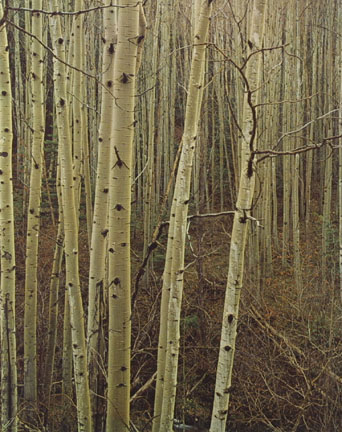 Aspens in Early Spring, New Mexico, From
