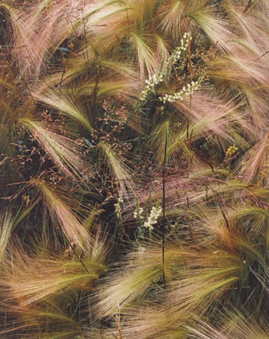 Foxtail Grass, Colorado, From