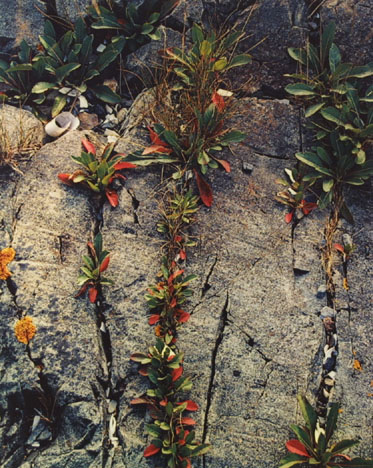 Weeds In Rock Cracks, Maine, From