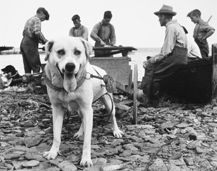 Working Dog-Gaspe, Canada