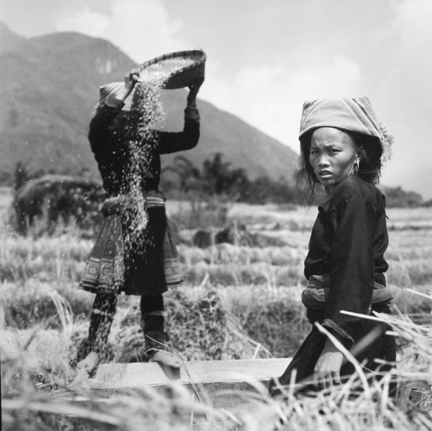 Black Hmong Girls Harvesting Rice in the Sapa Valley