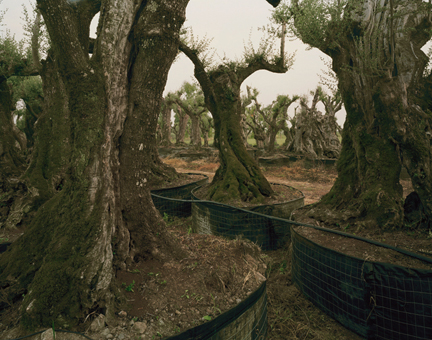 Olive Tree Sales Lot, Lazio, from the